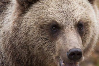 Así 'inspecciona' un coche patrulla este oso curioso
