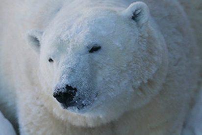 Este oso polar goloso se atasca en la ventana de un almacén tras comer mucho chocolate