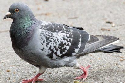 Descubren que las palomas también podrían entender las probabilidades