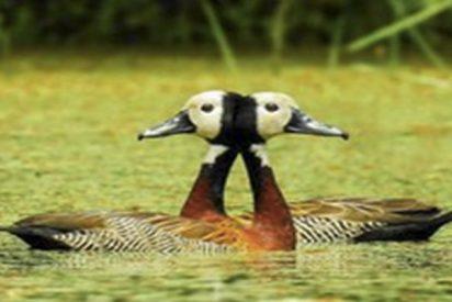 """Esta foto de dos patos """"siameses"""" provoca una ilusión óptica enloquecedora"""