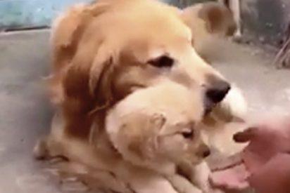 Así es el amor de madre animal..