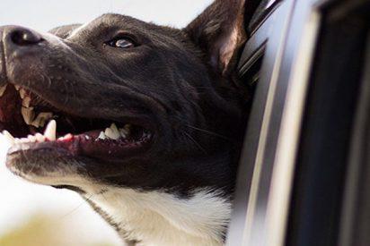 Este perro se arroja desde una camioneta que viaja a más de 100 km/h