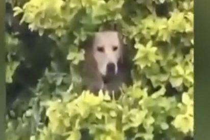 El increíble perro boina verde se camufla así...