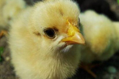 Miles de pollitos recién nacidos de huevos desechados invaden una ciudad georgiana