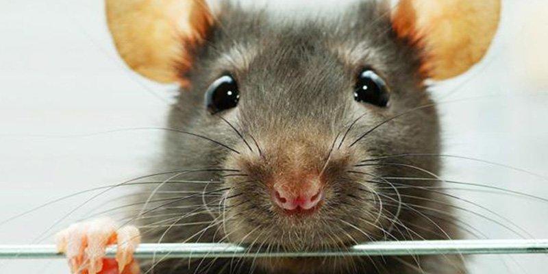 El triste final del 'entrenamiento cardio' de esta rata en una escalera de metro de Nueva York