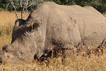 Los expertos creen que la clonación podría ser la salvación del rinoceronte blanco del norte