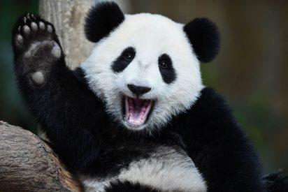 Descubren un nuevo linaje de panda gigante chino de hace 22.000 años