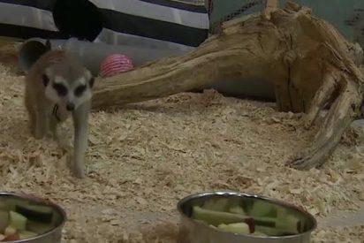 Esta suricata sabe quién ganará el México vs Alemania
