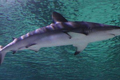 Así se pasea este tiburón cerca de un pescador en kayak