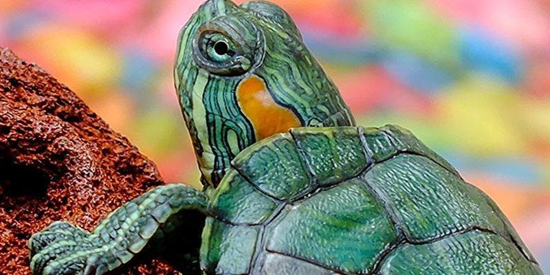 Descubren una nueva especie de tortuga
