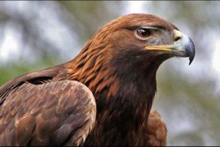 Este águila real, entrenada para cazar, 'caza' a una niña de 8 años