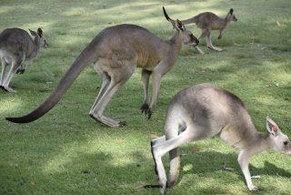 ¿Está Australia superpoblada de canguros y ha llegado la hora de comérselos?