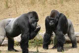 Un niño cae en el foso de los gorilas y pasa esto…