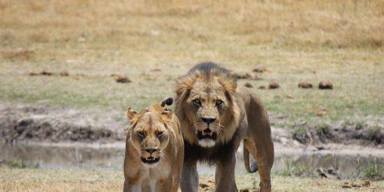 La valiente, desesperada y acrobática pelea del antílope contra las leonas