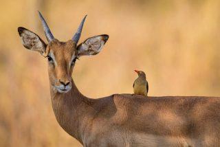 El leopardo interrumpe la histérica pelea entre dos impalas