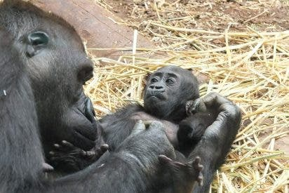 Amor gorila: madre no hay más que una...