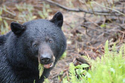 El oso se cabrea y ataca un coche con toda la familia en el interior