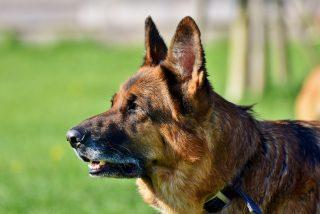 Perros adiestrados podrán detectar positivos en coronavirus