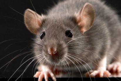 El feroz ataque de una rata a una paloma en las calles de Nueva York