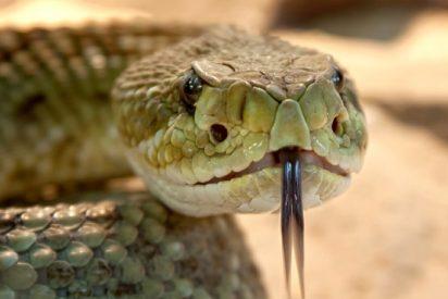 El cambio climático modifica el comportamiento de la serpiente de cascabel