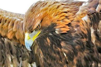 Este águila real se lanza sobre una niña de 8 años y casi se la merienda