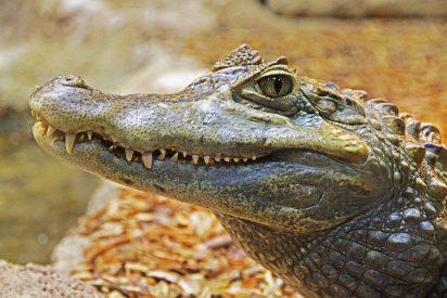Matan a este caimán por acorralar a una adolescente en un árbol durante una hora