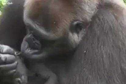 Amor gorila