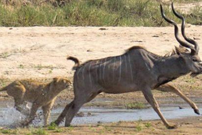 El feroz combate entre un valiente antílope y unas leonas