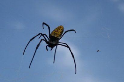 Las arañas vuelan… pero no de la forma que te imaginas