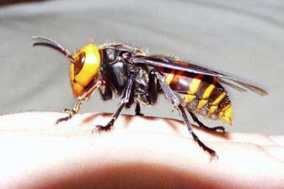El 60% de la producción apicola española se ha perdido por la plaga de la avispa asiática