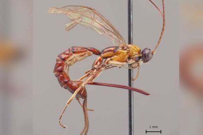 Descubren esta avispa con un aguijón descomunal en el Amazonas