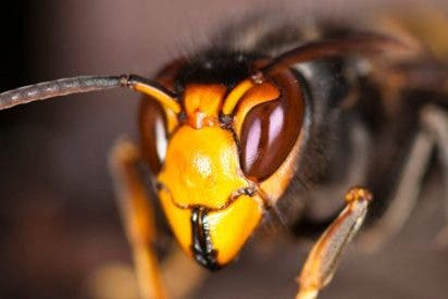 5 cosas que debes saber de la avispa asiática o avispa asesina