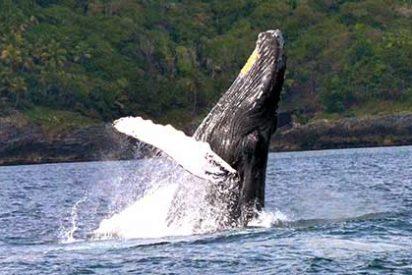 Samaná, el destino ideal para ver ballenas jorobadas