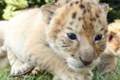 Así son los adorables bebés de un León blanco y una tigresa