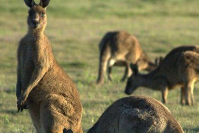 ¿Está Australia superpoblada de canguros? Una mujer filma cómo 'invaden' su prado