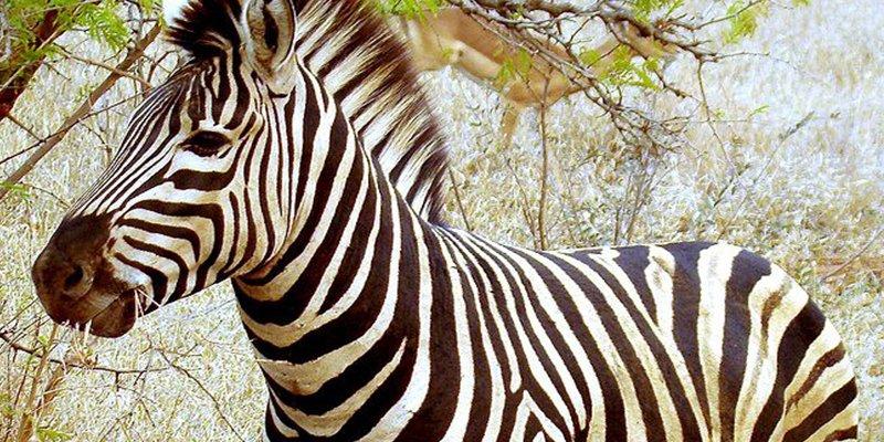 Desmienten que las rayas de las cebras sirvan para protegerse del calor