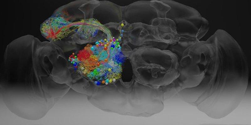 Así es el cerebro de una mosca, a nanoescala con 21 millones de imágenes