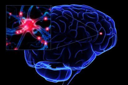 Descubren un nuevo regulador de la formación de neuronas