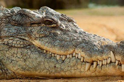 Así sacaron a este enorme cocodrilo que invadió una vivienda en Tailandia
