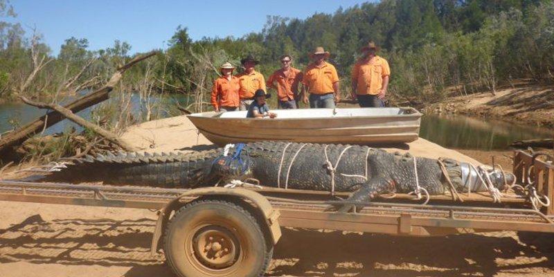Capturan a este cocodrilo gigante de 600 kilos después de muchos años de búsqueda