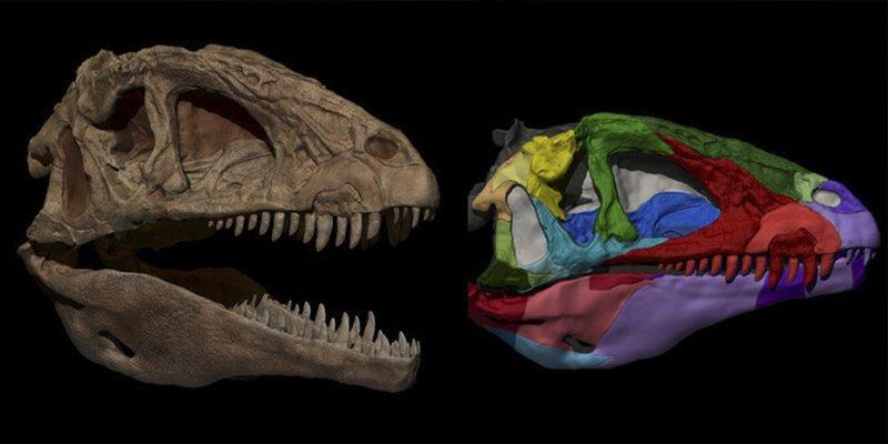 Reconstruyen el cráneo de Pepito, el dinosaurio carnívoro de Cuenca