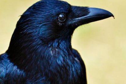 Los cuervos son capaces de recordar las herramientas que hacen sus compañeros y las reproducen