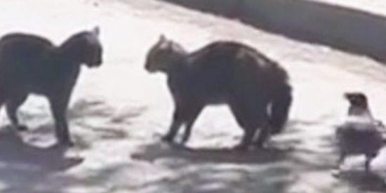Este cuervo molesto se mete en una pelea entre dos gatos