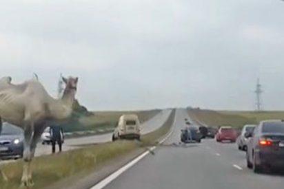 Este camello siembra el caos en una autopista