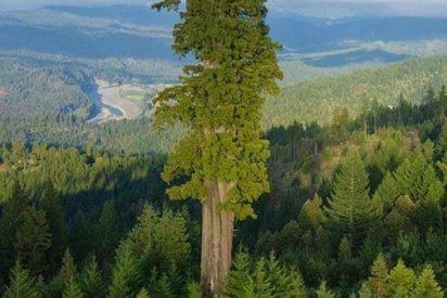 Este es Hyperion, el arbol vivo más alto del mundo