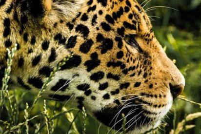 Este jaguar se fuga de un zoo y mata a siete animales antes de ser capturado