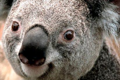 Logran descifrar el código genético de los koalas