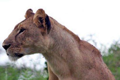 Esta leona salva a su cachorro del ataque de una manada de licaones