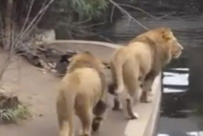 Hasta los leones tienen malos días