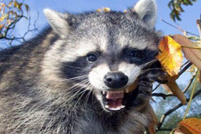 Esta valiente madre mapache se enfrenta a un gato montés y defiende con ferocidad a sus crías